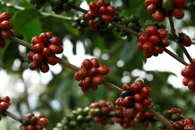 Fresh ripe raspberries are covered with creamy smooth chocolate. Coffee Bean Taboo Gets Second Look Amid Climate Market Changes Voice Of America English