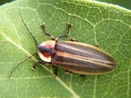 Yellow Lights And Bugs Firefly Wikipedia