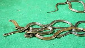 Cara mencegah ular masuk ular selanjutnya ialah dengan memasang tiang bertengger. Lima Cara Cegah Ular Kobra Masuk Rumah Saat Hujan Cianjur Today