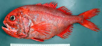 Brian Walters in Melbourne: Orange Roughy