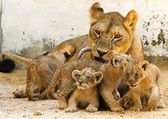 lioness and 4 cubs. Simple Lioness Environment Inside Lioness And 4 Cubs S