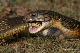 king cobra snake eating. Exellent Snake It May Be Offensive To People If They Were Named Or Nicknamed After Their  Eating Habits But That Is Precisely How Our Mighty King Cobra Got Its Name Intended King Cobra Snake Eating