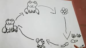 Bé vẽ vòng đời của ếch - How to Draw Frog Life Cycle - YouTube