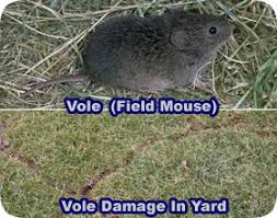 how to get rid of voles in garden. Plain Rid How To Get Rid Of Voles Intended To Of In Garden 2