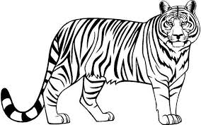 tiger black and white drawing. Contemporary White Black Clipart White Tiger Clip Art Black And Stock And Tiger White Drawing R