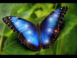 most beautiful butterflies in the world flying. Most Beautiful Butterflies On Earth Are MORPHO IS ONE NEW Specie Of Morpho And In The World Flying