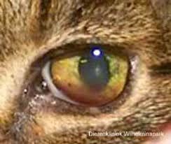 Kattenziekte symptomen