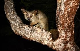 nocturnal desert animals. Delighful Desert Nocturnal Animals To Look Out For On An African Safari Throughout Desert