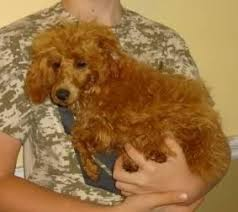 adorable red toy poodle in