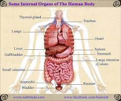 Organs In The Human Body Some Internal Organs Of The Human Body English Vocabulary