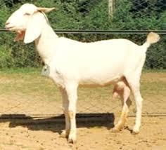 Surti Goat Characteristics Breed Information Modern Farming Methods