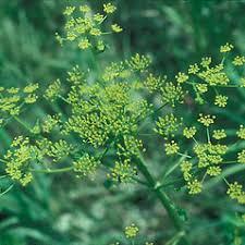 Pastinaca sativa (wild parsnip): Go Botany