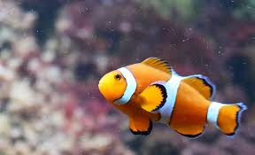 different colored clown fish.  Clown Clown Fish Orange Intended Different Colored