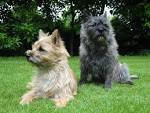 Images & Illustrations of cairn terrier