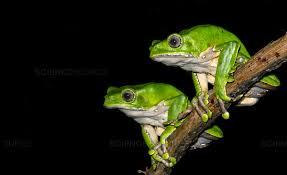 Science Source - Giant Monkey Frog (Phyllomedusa bicolor)