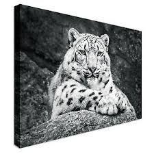 image is loading portrait of resting snow leopard canvas wall art  on snow leopard canvas wall art with portrait of resting snow leopard canvas wall art prints high quality