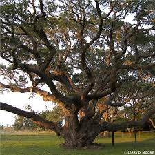 Oak Tree Growth Rate Chart Live Oak Tree On The Tree Guide At Arborday Org