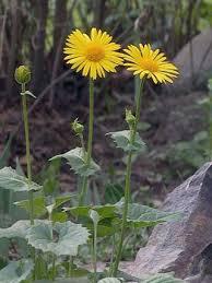 Leopard's Bane, Doronicum orientale - Flowers - NatureGate