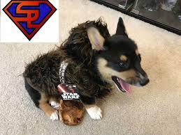 corgi puppy in chewbacca costume star wars rubies chewbacca pet costume review