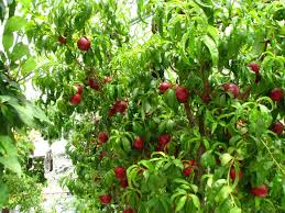 Greenhouse Fruit Production In West Texas  Dave Wilson NurseryFruit Trees For Central Texas