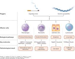 Pathophysiology Of Emphysema Flow Chart View Large Accessmedicine Mcgraw Hill Medical
