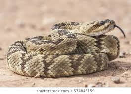 rattlesnake head.  Head Crotalus Molossus Is A Venomous Pit Viper Species Found In The Southwestern  United States And Mexico With Rattlesnake Head V