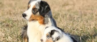 miniature australian shepherd