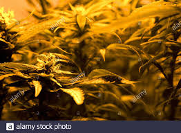 Indica Stock Photos Indica Stock Images Page 4 Alamy