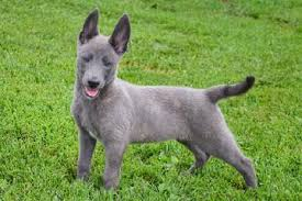black german shepherd puppies with blue eyes. Contemporary Shepherd Blue Dutch Shepherd Puppies For Sale At Cher Car Kennels On Black German Puppies With Eyes R
