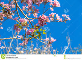 pink trumpet tree scientific name is tabebuia rosea is a plant in the cauliflower family it is native to central america and south america