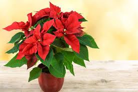 Weihnachtsstern Alles Rund Um Die Pflege Pflanzen Freundde