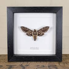 Picture Frame Box Carolina Sphinx Moth In Box Frame Manduca Sexta
