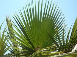fan palm. fan palm leaf green structure sky fronds