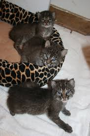 Image result for free blog pics of bobcat kittens