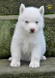 pure white husky with blue eyes. Contemporary Husky Caesar Pure White Blue Eyes Siberian Husky Pup  And With U