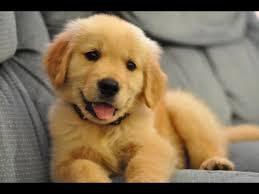 golden retriever.  Retriever Best Of Cute Golden Retriever Puppies Compilation For E
