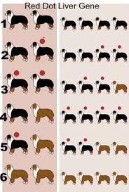 Dachshund Color Chart Akc Miniature Schnauzer Colors Riggs Miniature Schnauzers