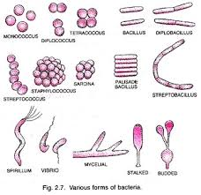 mycelial form bacteria structure and role with diagram