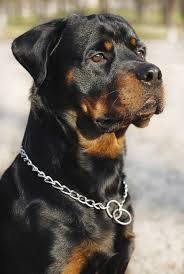 rottweiler dog. butting heads over head shapes rottweiler dog