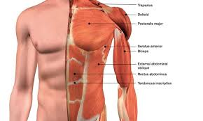 Anatomy of upper chest chest anatomy diagram diagrame of the stomach and chest upper enlarge anatomy of the thymus gland drawing shows the thymus gland in the upper chest under location. 13 Best Chest Exercises And Workouts For Men Fitwirr
