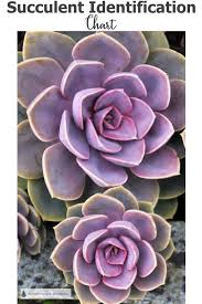 Succulent Identification Chart Find Your Unknown Plant Here