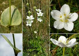 Parnassia palustris L. subsp. palustris - Portale sulla flora del Parco ...