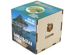 <b>Растение ЭкоДом Сосна</b> Байкальская 1061843804629 - Чижик