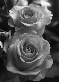 Black And White Greeting Card Two Roses Black And White Greeting Card For Sale By Jeff Townsend