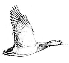 Small Picture Flying Mallard Duck Coloring Pages Color Luna