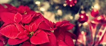 Weihnachtspflanzen Und Ihr Geheimnis Katholischde