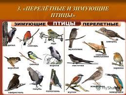 Презентация на тему Птицы осенью Окружающий мир класс УМК   ПЕРЕЛЁТНЫЕ И ЗИМУЮЩИЕ ПТИЦЫ