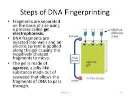 Dna Fingerprinting Lab Answers Lab 7 Dna Fingerprinting And Gel Electrophoresis Fall 2014