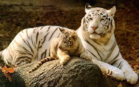 baby white tigers for sale. Unique Sale Baby White Tigers For Sale D