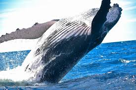 a picture of a whale. Modren Picture Black Sperm Whale On A Picture Of Whale T